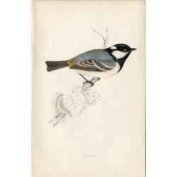 Pájaro. Cole Tit, Morris, nativo de Europa, America y Asia.