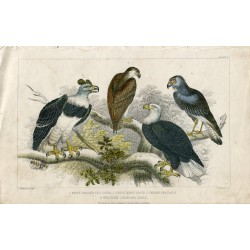 Pájaros. White Headed Sea eagle, Great harpy eagle ...1850.