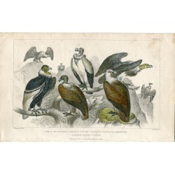 Pájaros. King of the vultures, sociable vulture 1850 ....