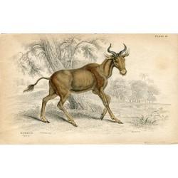 Animales. Bubalis.Grabador Lizars 1836