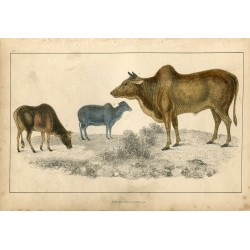 Animales. Common Zebu and small zebu