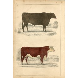 Animales. Suffolk Ox and Herefordshire bull, 1860