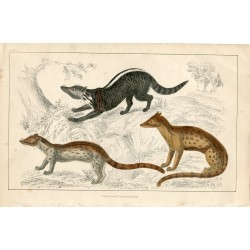 Animales. Zibet, Fossane and Malacca Genet por A. Fullarton 1860