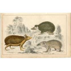 Animales. Swarthy Tendrac, Long-heared hedgehog and armed tenrec  A. Fullarton,1860