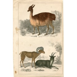 Animales. Grabado.Vicuna of Perú and Argali or Big Horn por A. Fullarton