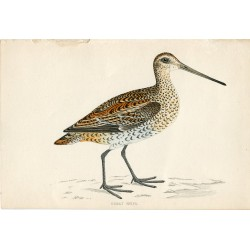 Pájaro. Great Snipe. Morris 1851