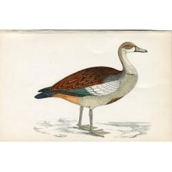 Pájaro. Egyptian Goose. Morris 1851
