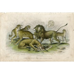 Animales. Asiatic lion, lioness, bengal tiger, leopard and jaguar. 1868