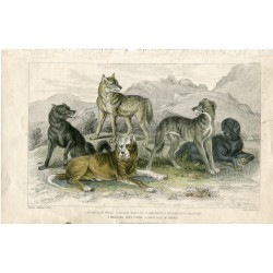 Aimales. European wolf, black wolf of N. America, St. Bernard' s mastff ...1868